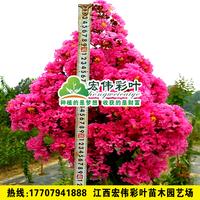 江西超级速生艳红紫薇低价出售