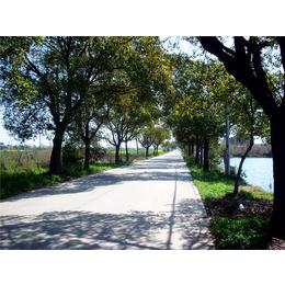 泡桐树 造景绿化 城市绿化 园林景观