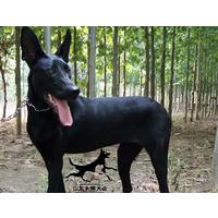 纯种中华黑狼犬价格
