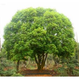 辉煌园林 桂花造景工程种植技术