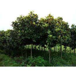 广玉兰树植供应缩略图