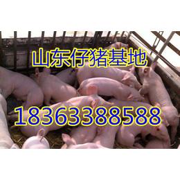 聊城仔猪基地优质三元仔猪批发价格下滑低价养猪场直销