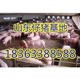 沭阳仔猪基地三元仔猪优良种10-60公斤低价供应批发