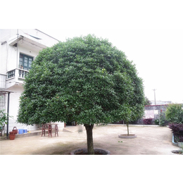 桂花树 造景绿化 城市绿化 园林景观