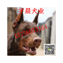 二三个月的小杜宾犬多少钱 纯种杜宾犬幼犬多少钱