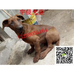 二三个月的小红狼犬多少钱 纯种红狼犬幼犬多少钱