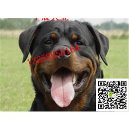 二三个月的小罗威纳犬多少钱 纯种罗威纳犬幼犬多少钱