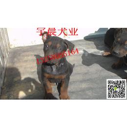 二三个月的小苏联红犬多少钱 纯种苏联红犬幼犬多少钱