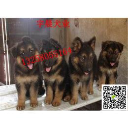 二三个月的小牧羊犬多少钱 纯种牧羊犬幼犬多少钱