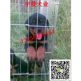 哪里有卖2-3个月的罗威纳犬幼犬的