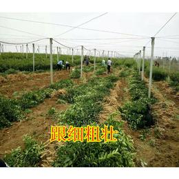 广西哪里有广西鹿寨蜜橙苗买