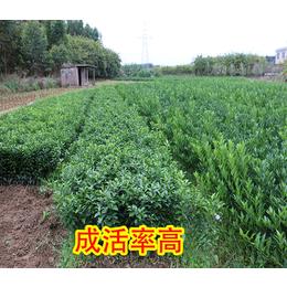 广西哪里有特早柑橘苗出售