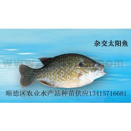 杂交太阳鱼苗    杂交太阳鱼水花    金边太阳鱼苗