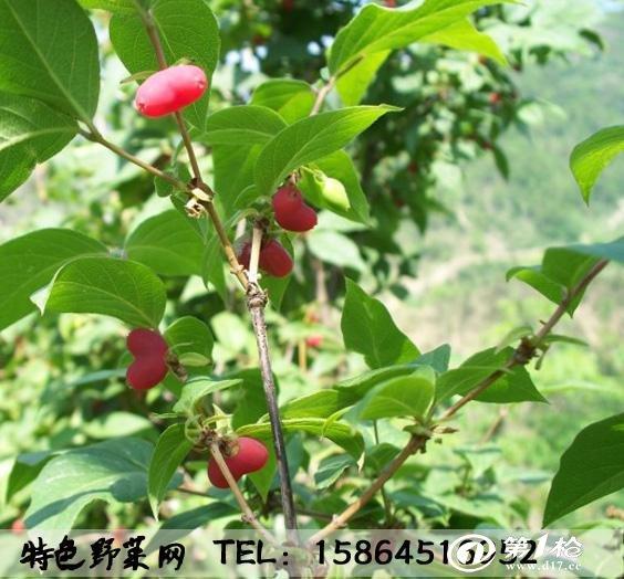 健身果成熟特早,4月中上旬即成熟,果实椭圆无核,色泽鲜红美艳,肉质细嫩,清香甘甜,果重2.5克左右,果实中含有丰富的蛋白质、矿质元素、维生素和氨基酸,其中钙、铁、磷的总含量比苹果高出24倍,铁的含量比目前水果中含铁较高的桃果高出5倍,磷的含量为目前报道过的所有果树之最,被誉为天然营养库。是中老年人、少年儿童、病后体虚和贫血缺钙患者的上等补品。该品种根系发达强健,四季均可移栽,成活率达100%,具有顽强的生命力及再生能力。一般夏秋季栽苗,半年后即可结果,三年进入盛产期,单丛可产果3-5公斤,亩产量2500公