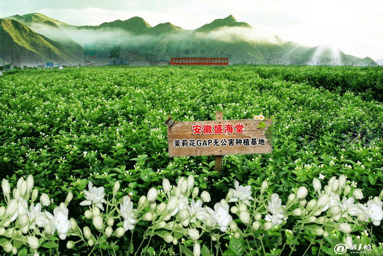 供应优质茉莉花 oem贴牌精致玻璃罐装花茶全新上市—茉莉花茶
