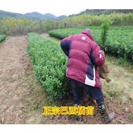 贵州哪里有巴西蜜桔果苗销售