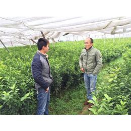 福建哪里有柑桔新品种苗批发基地