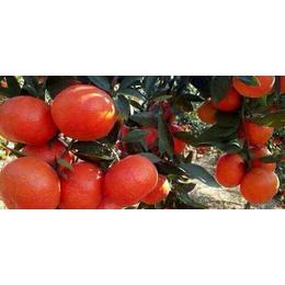 黔南东方红橘苗价格多少钱