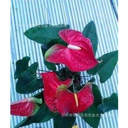 带盆花卉 盆栽 盆景 观花植物 红掌 室内客厅花草 绿植 迷你创意