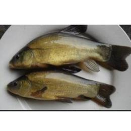供应纯种正宗丁<em>桂鱼</em>以及其他多种<em>淡水鱼类</em>
