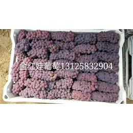 吉林小红粒葡萄苗出售辽宁金红娃葡萄苗也叫玫瑰露葡萄苗营养钵苗