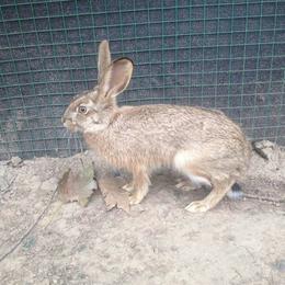 杂交野兔养殖场杂交野兔养殖加盟