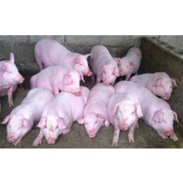 山东仔猪销售中心猪苗供应市场批发价格
