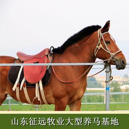 供应骑乘马匹适用于个人骑乘商业庆典活动骑乘马