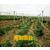 北海哪里有贡柑苗出售缩略图4