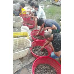 泥鳅苗养殖基地,沈阳泥鳅苗,有良泥鳅养殖基地