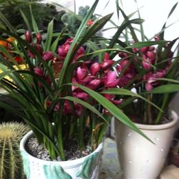 惠兰盆栽适合在什么样的环境生长
