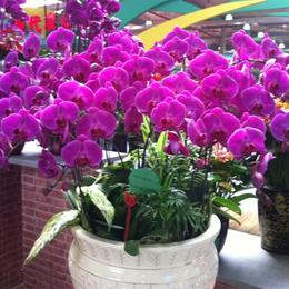 蝴蝶兰大型盆栽适合放置在哪里