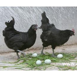 江西绿壳蛋鸡 三峡绿壳蛋鸡苗 东乡五黑鸡苗价格低廉质量好
