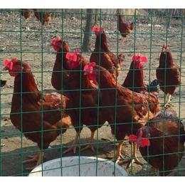 优质散养九斤红公鸡批发