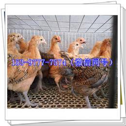 大足鸡苗厂家报价产蛋