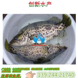 鲜活水产品桂鱼苗_广东桂花鱼苗_大量出售淡水鱼苗