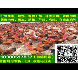 贵州小青脚土鸡小青脚土鸡疫苗注射