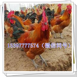 温江土鸡苗多少钱一只羽毛