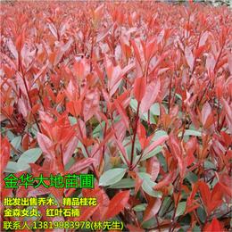 大地苗圃批发直销(图) 求购2公分红叶石楠 红叶石楠