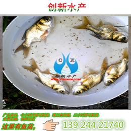 清远三角鲂鱼苗供应_边鱼苗_鳊鱼苗_武昌鱼苗
