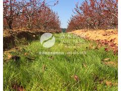 果园绿肥鼠茅草