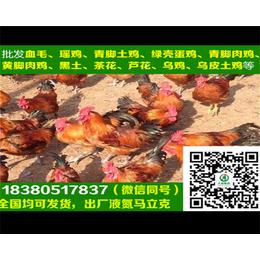 漳州土鸡苗土鸡苗孵化厂