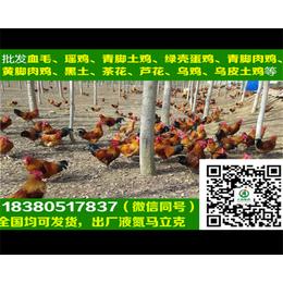 哈尔滨绿壳蛋鸡苗绿壳蛋鸡苗孵化厂
