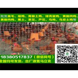 锦州红瑶鸡苗红瑶鸡苗图片