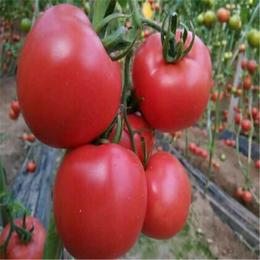 生态农平安国际 有机蔬菜食物  西红柿