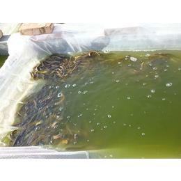 山西泥鳅苗 有良水产养殖基地 泥鳅苗养殖厂家