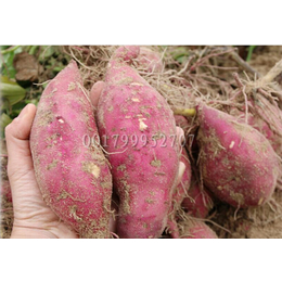 安纳芋板栗薯产地供应