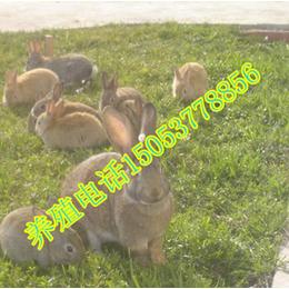 杂交野兔哪里有养的