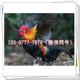 荣县鸡苗厂家价格青饲料