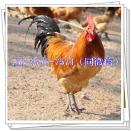 陕西土鸡苗批发市场青脚鸡品种